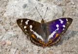 Purple Emperor - Grote weerschijnvlinder - Apatura iris