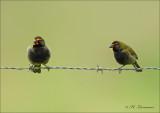 Yellow-faced grassquit - Grote Cubavink - Tiaris olivaceus