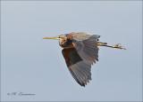 Purperreiger - Purple Heron - Ardea purpurea_