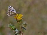 Eastern Bath White - Resedawitje - Pontia daplidice
