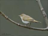 Western Bonelli's Warbler  - Bergfluiter - Phylloscopus bonelli