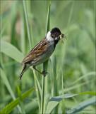 Reed Bunting - Rietgors - Emberiza schoeniclus