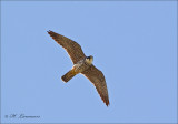 Eurasian hobby - Boomvalk - Falco subbuteo
