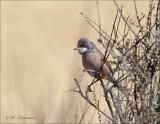 Spectacled Warbler - Brilgrasmus - Sylvia conspicillata