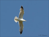Yellow-legged Gull - Geelpootmeeuw - Larus michahellis