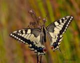 Swallowtail - Koninginnenpage - Papilio machaon