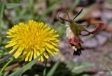 Broad-bordered Bee Hawk Moth -  Glasvleugelpijlstaart - Hemaris fuciformis