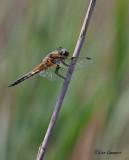 Four-spotted Chaser - Viervlek - Libellula quadrimaculata f. praenubila