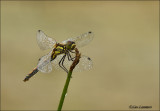 Black Darter - Zwarte heidelibel - Sympetrum danae