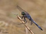 Black-tailed Skimmer - Gewone oeverlibel - Orthetrum cancellatrum