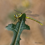 Yellow clubtail - Gele rombout - Gomphus simillimus