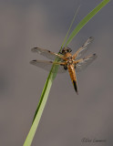 Four-spotted Chaser - Viervlek - Libellula quadrimaculata