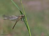 Black-tailed Skimmer - Gewone oeverlibel - Orthetrum cancellatum