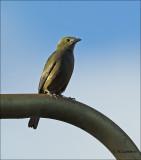 Costa Rica birds