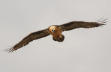 aragon_vautours-milan-royal