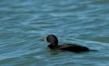 Zwarte Zee-eend    -    Common Scoter