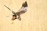 Bruine Kiekendief - Marsh Harrier  2020