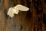 Kleine Zilverreiger - Little Egret