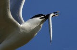 Grote Stern - Sterna sandvicensis - Sandwich Tern