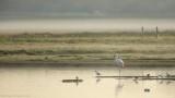Flamingo - Greater Flamingo