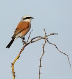 Grauwe Klauwier - Red-backed Shrike