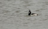 Ringsnaveleend    -    Ring-necked Duck