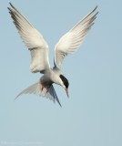 Visdiefje    -    Common Tern