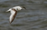 Ross' Meeuw - Ross's Gull