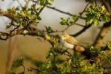 Bergfluiter - Phylloscopus bonelli - Western Bonelli's Warbler