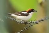 Roodkopklauwier - Woodchat Shrike
