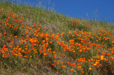 The Magnificent California Poppy