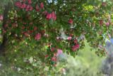 Hawthorn_tree