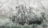 Kamloops_tree