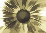 Garden_daisy