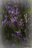 Dreamy_Lavender.jpg
