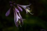 Hosta_flower