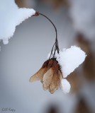 Snow_capped_maple