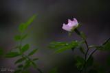Wild Rose2