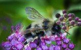 Busy Bumble