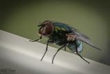Green Bottle fly.