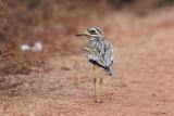 Eurasian Stone-curlew / Triel