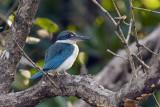 Collared Kingfisher / Grøn Isfugl, 1X8A3123,02-01-19.jpg
