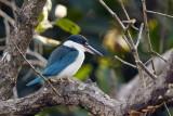 Collared Kingfisher / Grøn Isfugl, 1X8A3140,02-01-19.jpg