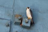 Peregrine Falcon / Vandrefalk
