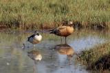 Knob-billed Duck / Knopgås