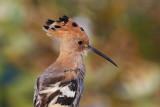 Eurasian Hoopoe / Hærfugl