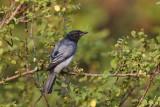 Black-headed Cuckooshrike / Sorthovedet Gråfugl