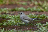 Red-breasted Flycatcher / Lille Fluesnapper