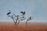 Black Kite / Sort Glente, Woolly-necked stork / Uldhalsestork,   1X8A2264,26-01-19.jpg