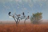 Black Kite Sort Glente,  Woolly-necked stork / Uldhalsestork, 1X8A2291,26-01-19.jpg